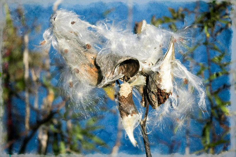 Milkweed ready to spread the seeds.