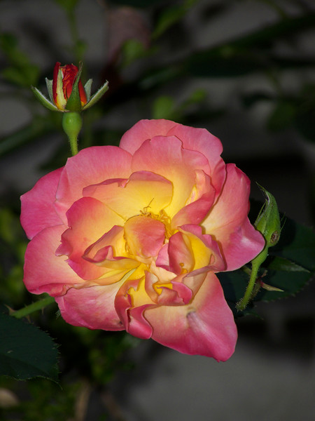 A vertical stock photo of yellow and pink rose.