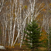 A horizontal stock photograph  of   a stand of white birch trees in north western Maine. A beautiful autumn day.