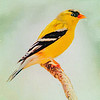 A Gold Finch Perching