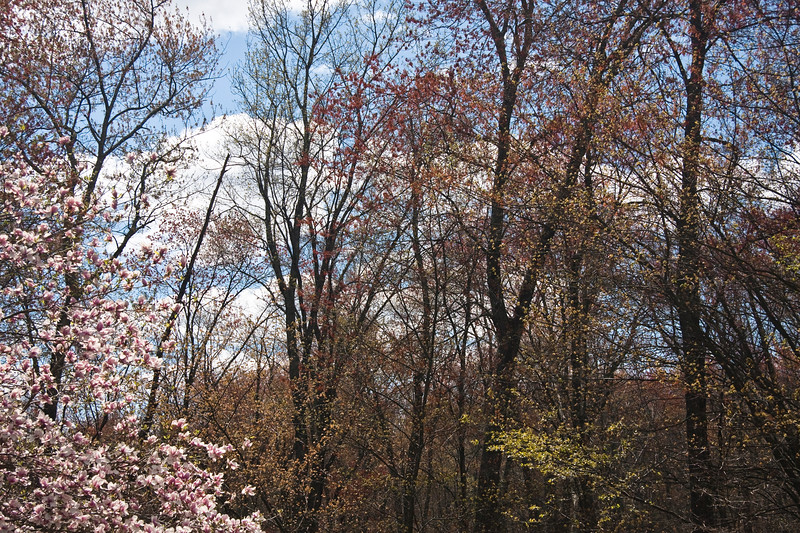 A horizontal stock photograph of  a scenic view of sping foliage and tulip tree blossom. With blue sky and white fluffy clouds.