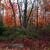 A horizontal fine art photo of a northeastern hardwood forest in the fall.