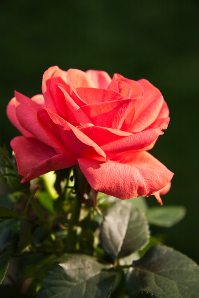A vertical stock photograph of a single red rose.