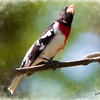 A Rose-breasted grosbeak perching on a limb.