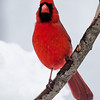 a vertical stock photograph of a Male Cardinal pearching on a snowy branch.
