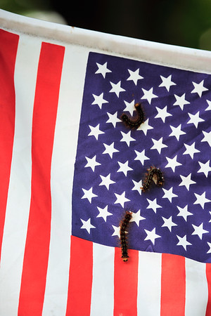 A vertical stock photograph of three gypsy moths on an american flag.