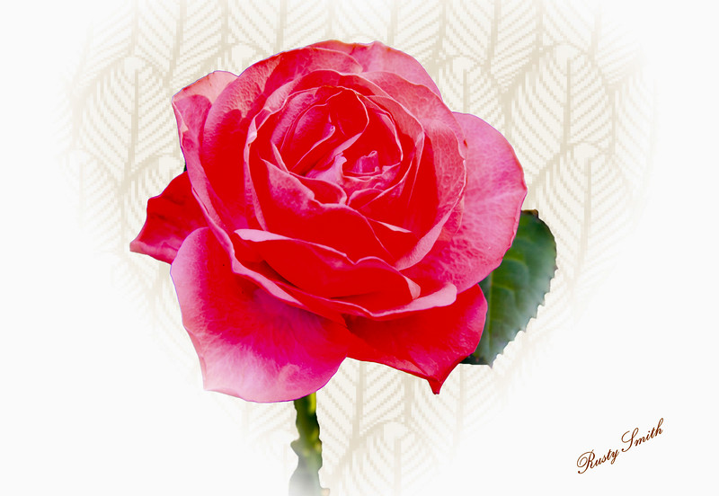 A beautiful red rose in December