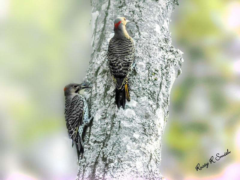 Adult and a young northern flicker.