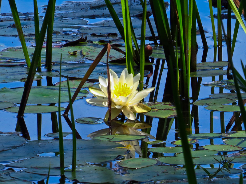 A single waterlilly surrounded by lilly pads.