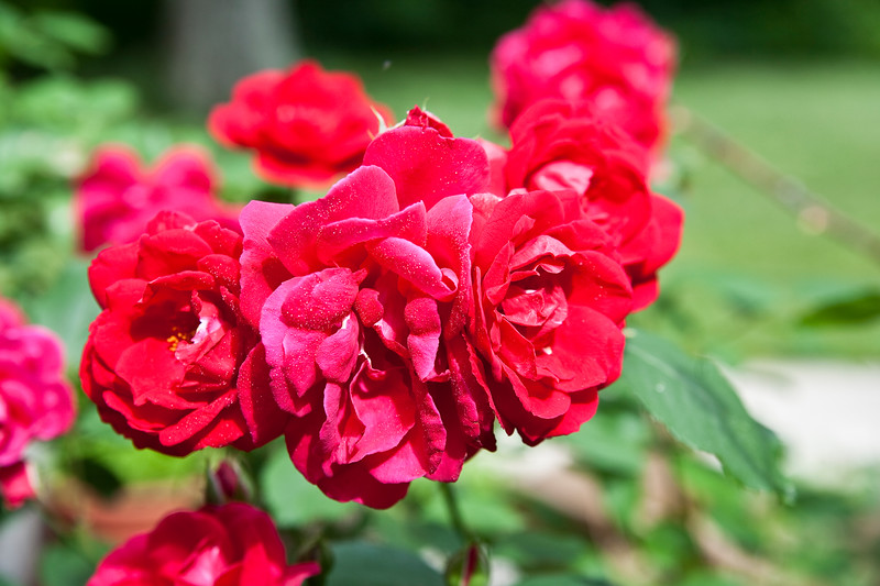 A horizontal stock photograph of  a group of bright Red Roses.