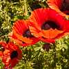 A vertical stock photograph of a group of red poppies in full bloom.