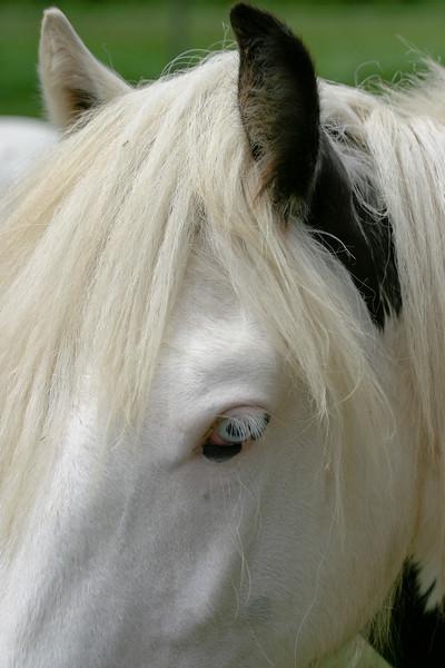 A vertical stock photograph.A closeup head of a gypsy vanner horse.