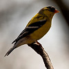 A vertical stock photograph of  a Yellow Finch perching on a branch.