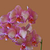 A horizontal stock photograph of  a soft pink orchid.