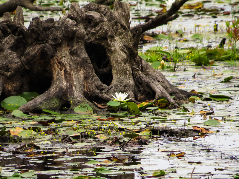 A single water lilly growing in front of old stump and surrounded with water and pads.