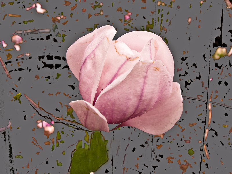 A horizontal stock photograph of  of a single tulip tree blossom slowly fading away. Set against an artsy background