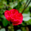 Close view of a red rose single blossom.
