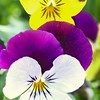A saturated view of a group of  Pansies