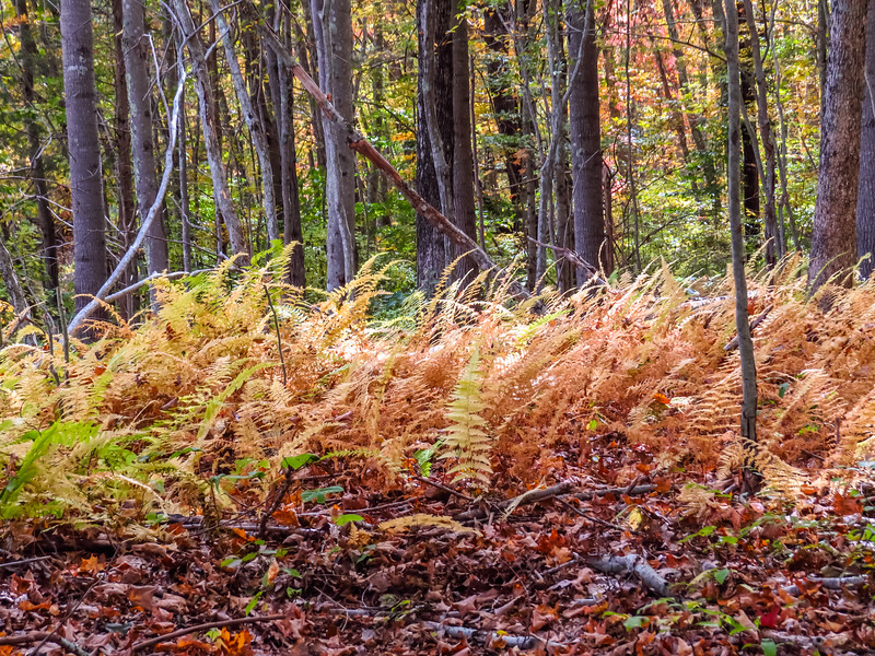 A fall forest scene with hardwood trees in the background and brown ferns in the foreground.