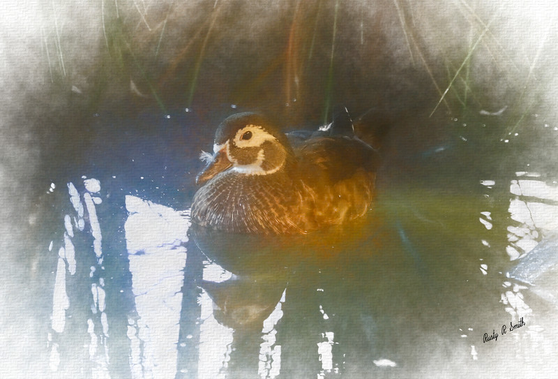 Female wood duck.