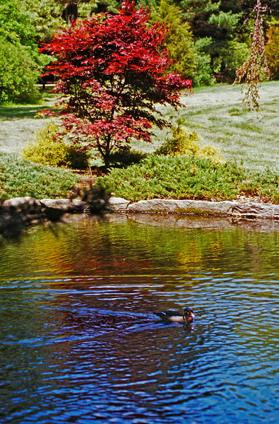 A Vertical Stock Photograph of a male wood duck floating peacefully on a park pond. Bright red Japanese maple tree in background.