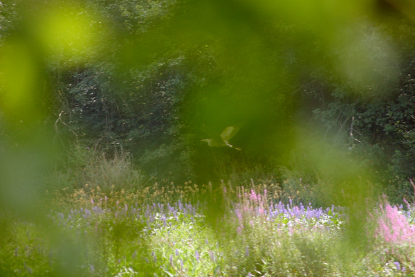 A horizontal stock photo of an artistic view showing a blue heron flying.