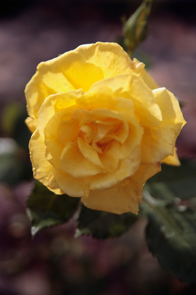 A Vertical Stock Photograph of a single yellow rose blossom.