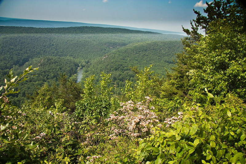 A horizontal stock photograph of a view of Penns Valley in central Pennsylvania. Beautiful Mountain Laurel blooms in the foreground.