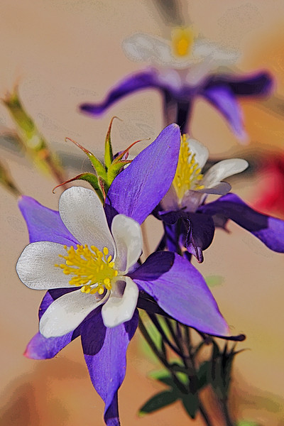 A Vertical Stock Photograph of a purple and white columbine flower close up and effects added