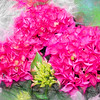 Group of pink  Hydrangea flowers