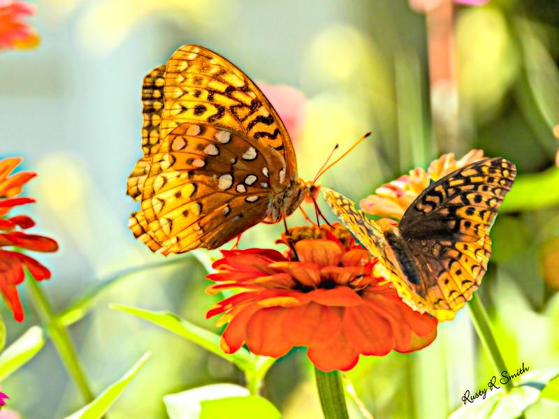 Two butterflies on one flower.