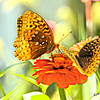 Two butterflies on one flower.