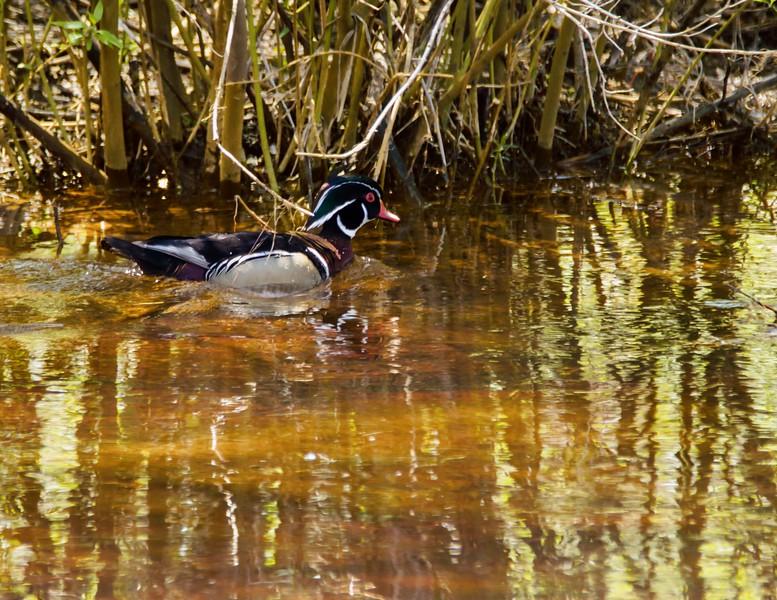 A beautiful male wood duck swimming alone