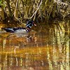 A beautiful male wood duck swimming alone