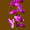 a vertical stock photograph of  a purple orchid on a light brown background.