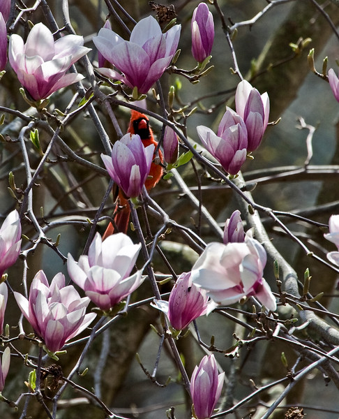 A vertical stock photograph of  of a red cardinal sitting in a tuplip tree surrounded by bright blossums.