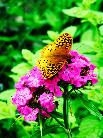Great Spangled Fritillary butterfly perched on Sweet Williams flower.