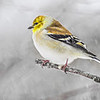 Goldfinch perching in falling snow.