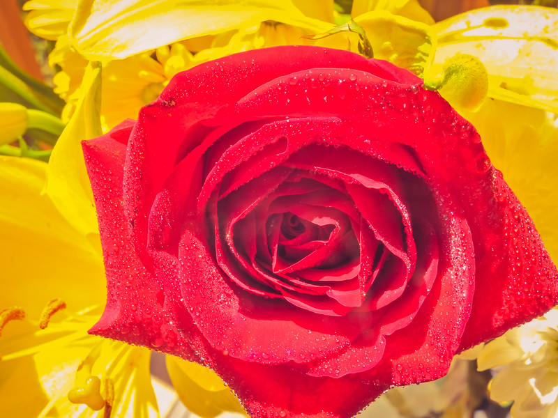 A closeup view of a beautiful red rose on a background of yellow lillies