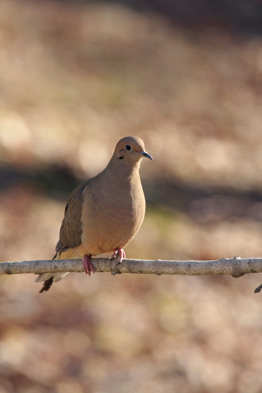 A Vertical Stock Photograph of a mourning dove perching.
