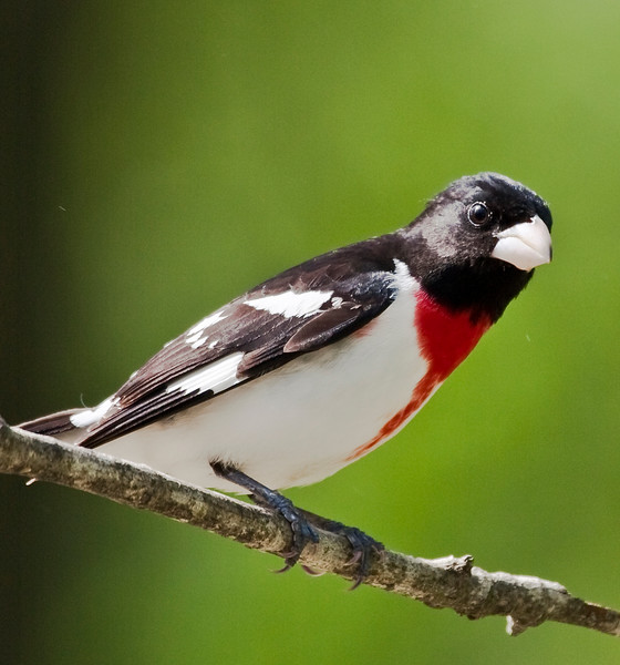 a vertical stock photograph of a male rose breasted grosbeak perching.