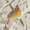 Female Cardinal Perching in a snow storm