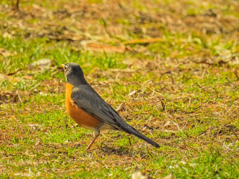 American Robin standing on the ground.