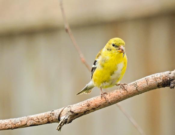 Perching gold finch