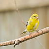 Perching gold finch