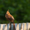 a horizontal stock photograph of a young cardinal pearched on a wooden fence.