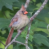 A young female cardinal perching on a tree limb