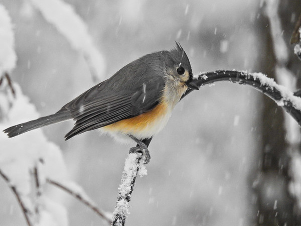 Tufted Titmouse perching in a snow storm