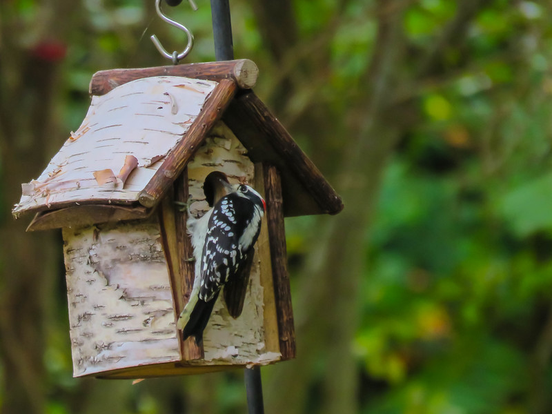 Male Hairy Woodpecker clinging to and looking into a bird house.