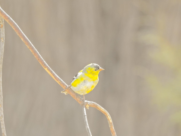 Perching Yellow Finch